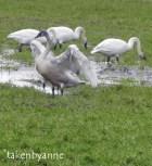 trump-swan-1