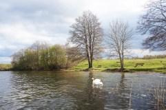 Swans in Plateliai