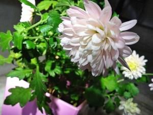 2015年の菊の花