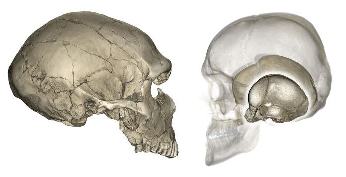 Why modern humans have round heads