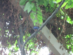 A little blue bird that Spencer spotted in the Butterfly House.