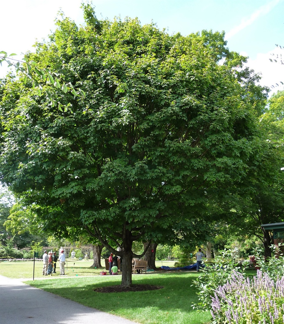 Sugar maple whose root flare was excavated several years ago at a Bartlett Tree workshop given to demonstrate the new and revolutionary use of air tools in tree work.