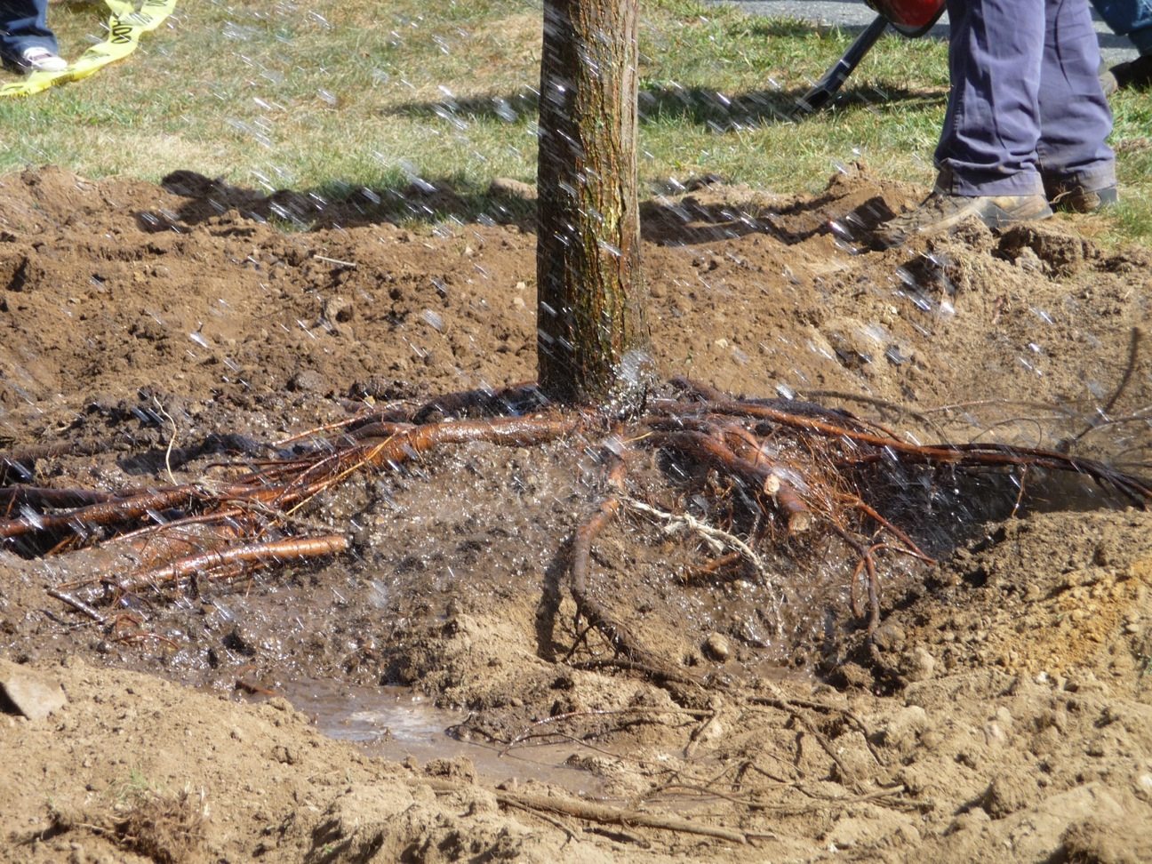 Trunk flare, placed in the proper relationship to finish grade.  Note the cut root ends; clean cuts with sharp tools let the wounds heal quickly.