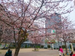 七分咲くらいの桜です