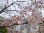 難波の公園の桜は、七分咲きくらいです!