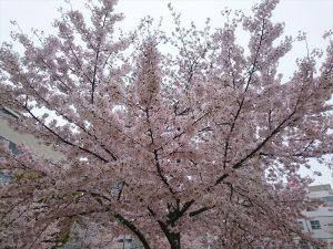 近くの公園の桜が満開です