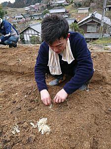 ネギを植えます