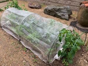 裏庭の自然農法菜園(6月10日)