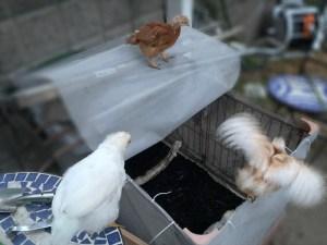 孵化5週間後の鶏の雛
