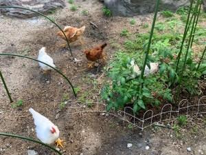 家庭菜園を走り回る鶏(にわとり)
