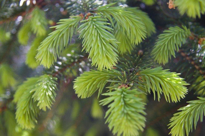 дерево ель