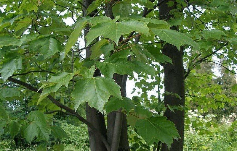 дерево клен