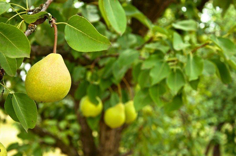 картинка дерево груша