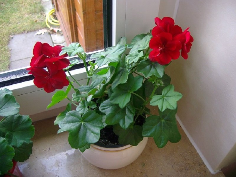 герань комнатное растение