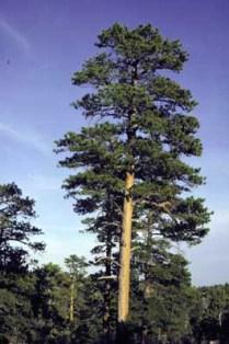 ponderosa-pine-utah