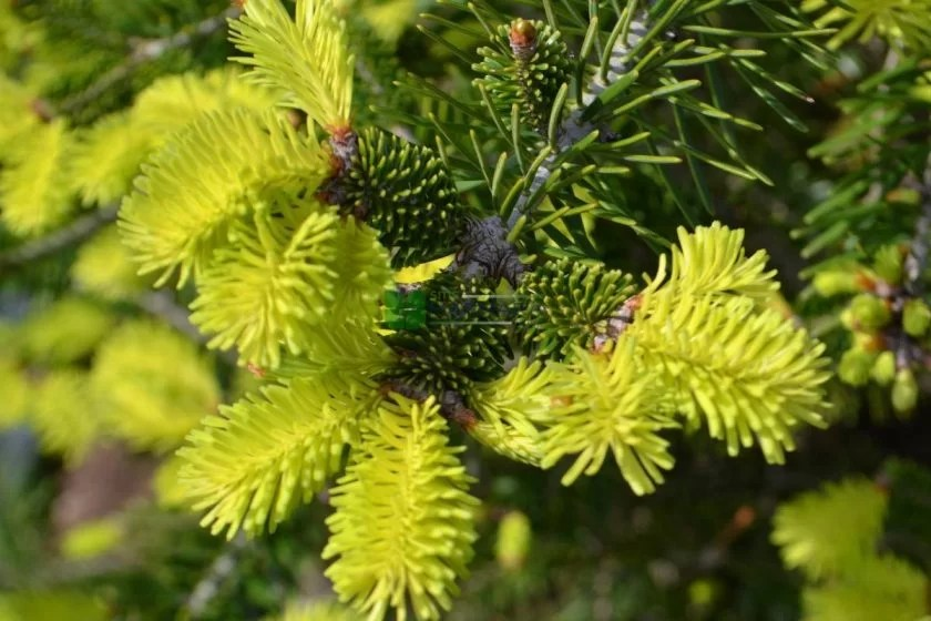abies-normandia