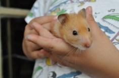 mali-hamster-sirian-2