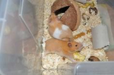 mali-hamster-sirian-4