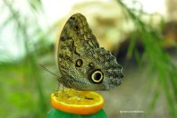 fluturi-tropicali-19