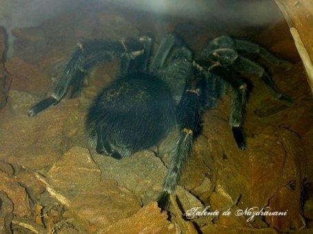 tarantula braziliana neagra