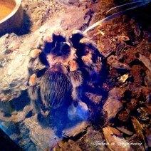 tarantula_genunchi_rosii