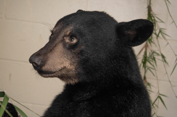 Brevard Zoo finds a home for Florida black bears