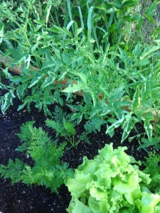 Tomato Plant! and you can see a couple of carrots here!
