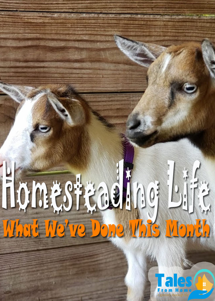 Homesteading Life, What we've done this month to expand the homestead! #homestead #countrylife #kids #family #selfsufficiency #selfsufficient #animals #chickens #goats #quail #rabbits #gardening