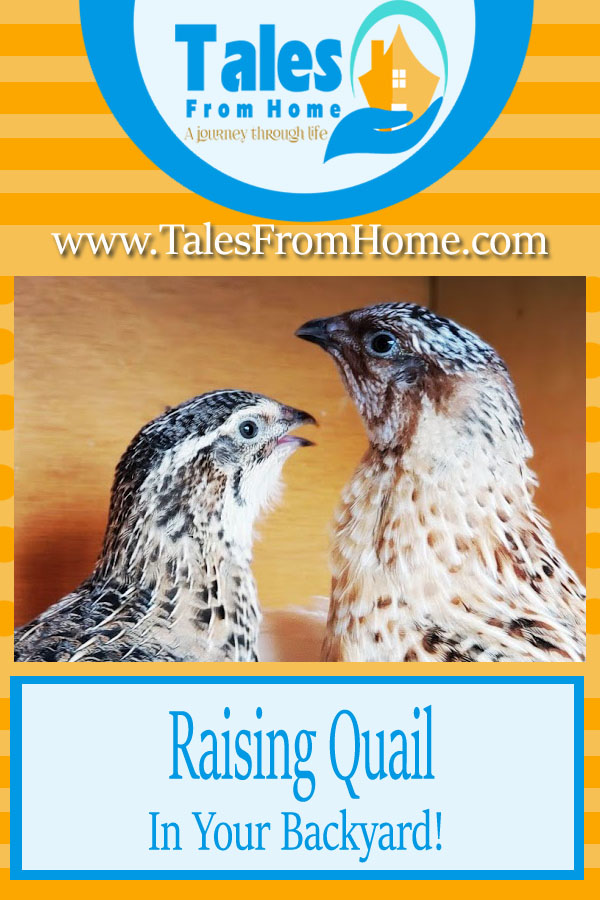 Raising Quail in your backyard! A great homesteading option for people with little space! #quail #raisingquail #homesteading #familypets #countrylife #livestock #eggs #farming #poultry