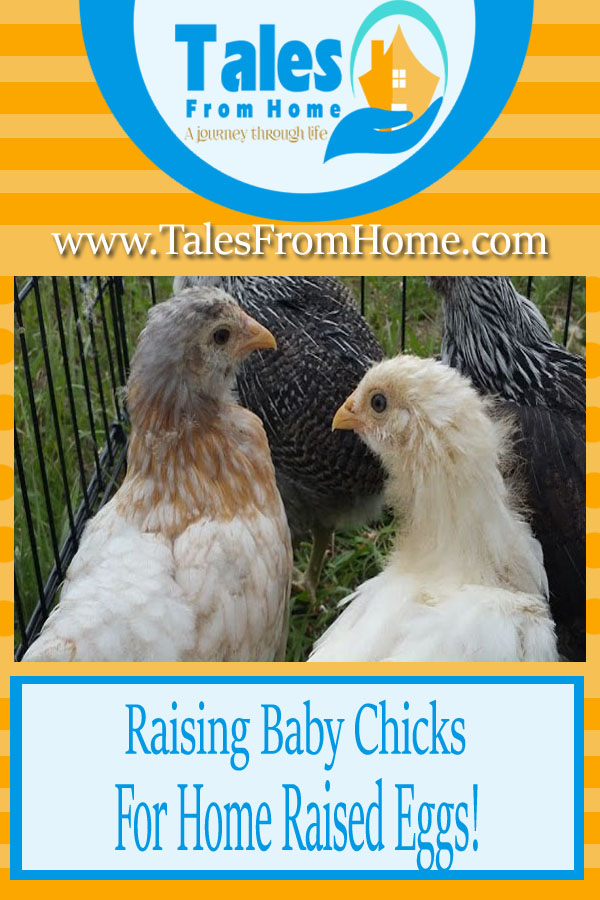 Raising Baby Chicks in Your Backyard! A fun and rewarding way to provide your family with fresh & healthy food #chickens #chicks #bckyardchickens #homesteading #countrylife #petchickens #hens #fresheggs #raisingchicks #chicks