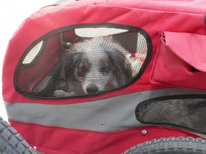 Torrey in her dog bike trailer