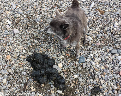 Thursday thoughts with Torrey - Yellowstone grizzly poo