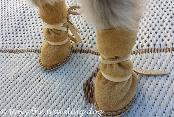 Torrey has a new pair of dog moccasins, dog shoes