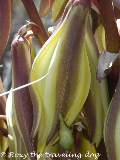Snappy H'appy photo challenge, yucca flower