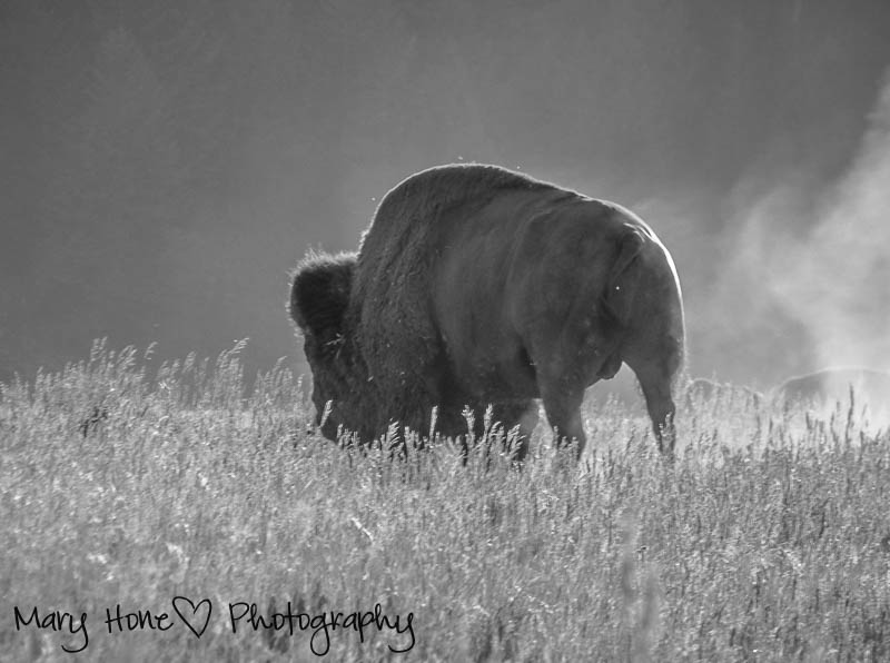 Bison in black and white