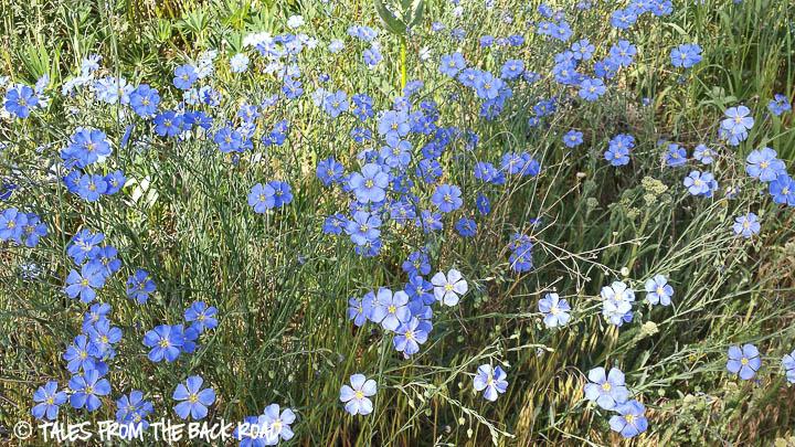 Flax wildflowers