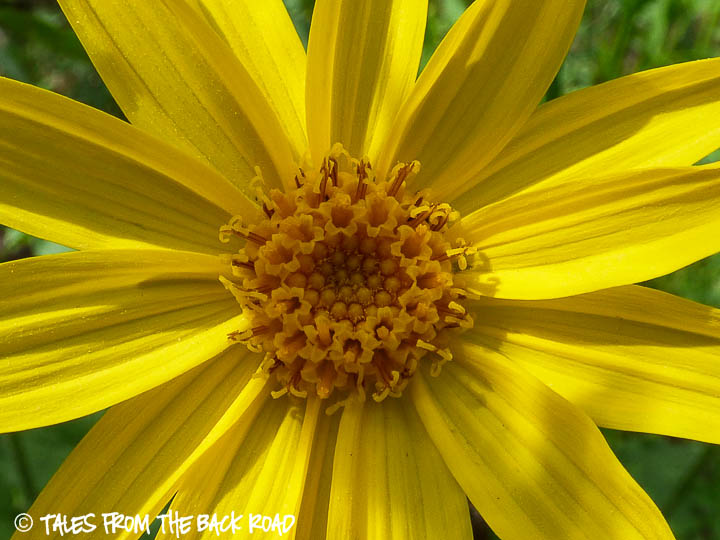 Yellow daisy wildflower