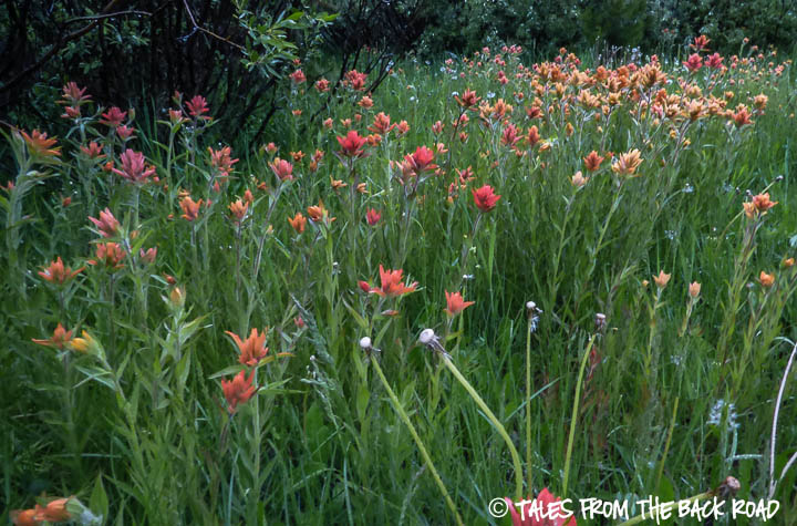 Indian paintbrush flowers