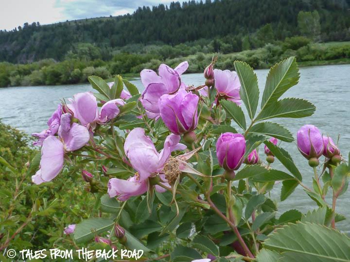 wild roses along the snake river