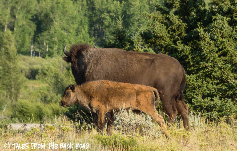 Mom and calf bison