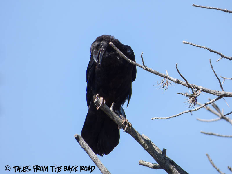 Raven at Vedauwoo recreation site