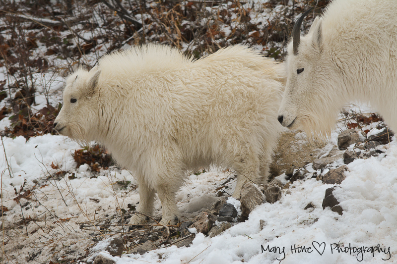 Mountain goats, Wildlife in Wyoming
