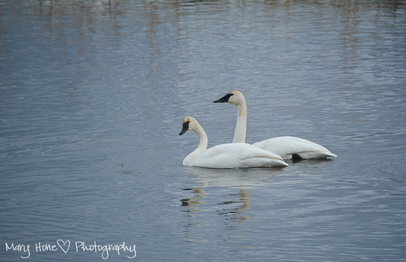 Trumpeter swans Wildlife in Wyoming