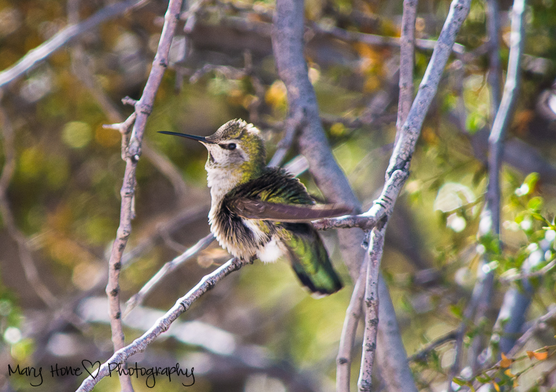 Hummingbird in the sonoran desert