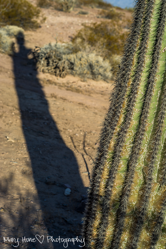 Shadowed saguaro