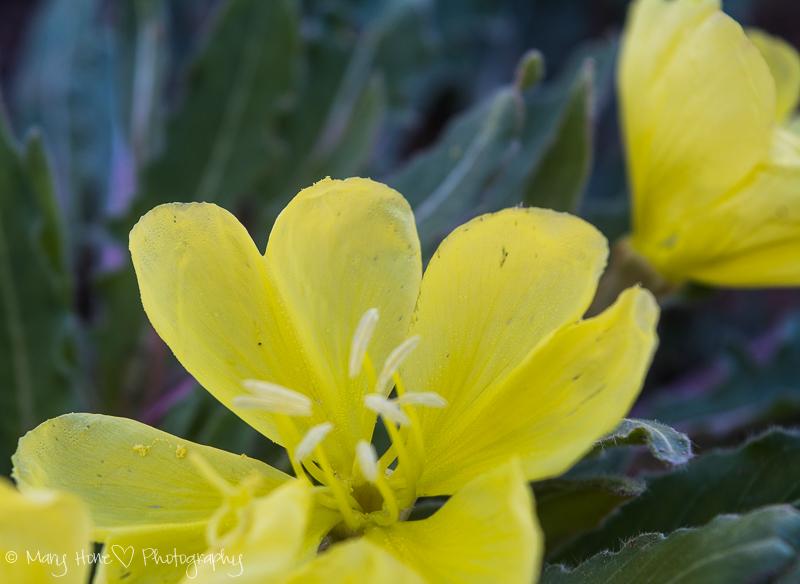 Evening blooming primrose