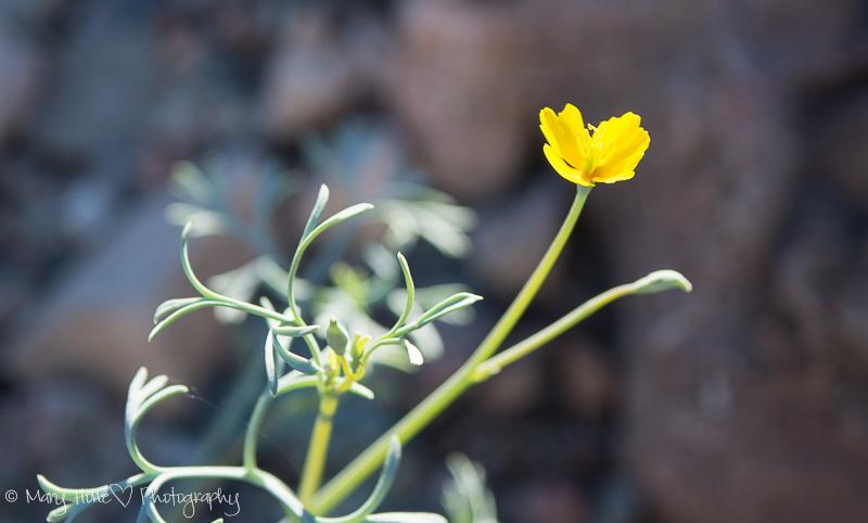 Yellow wildflower in Arizona