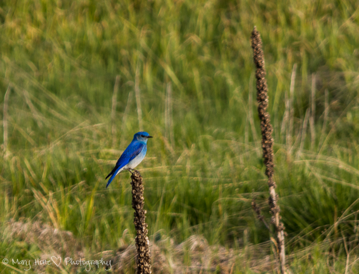 Vivid nature, mountain blue bird