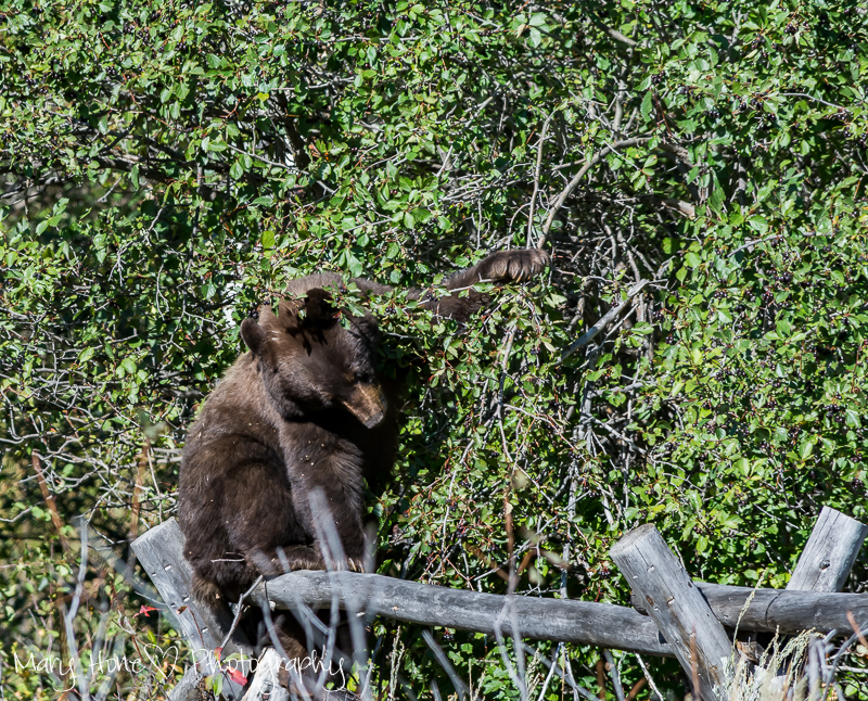 Bear on a fence, If you go down in the woods today