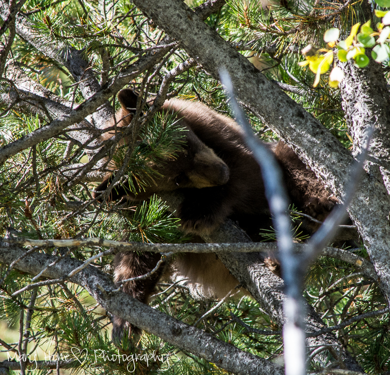 Bear cub in a tree